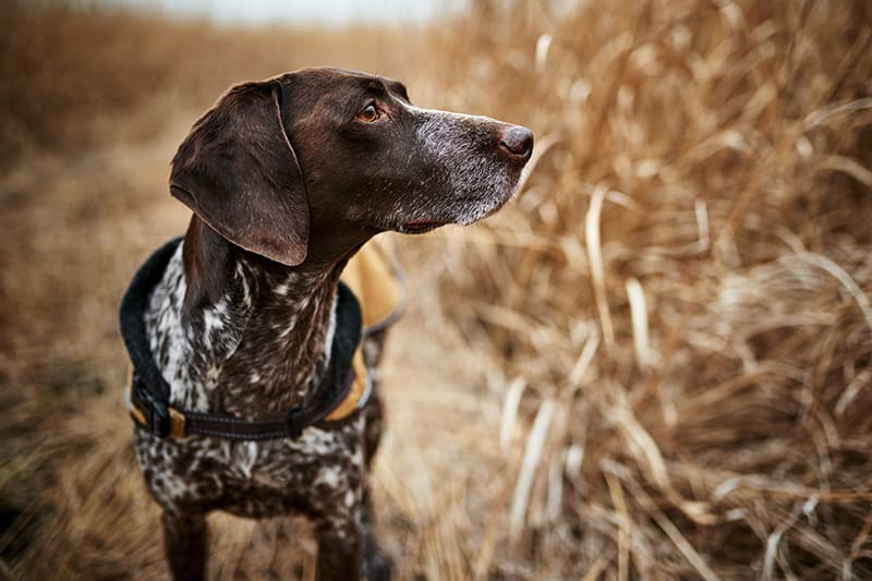Rocky Mountain Spotted Fever dogs - symptoms and treatments, Cordova Vet
